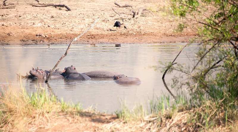 Hippopotamus, Pilanesberg Reserve