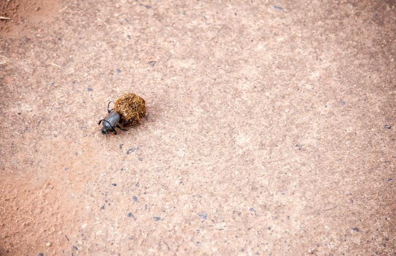 Dung Beetle, Pilanesberg Reserve