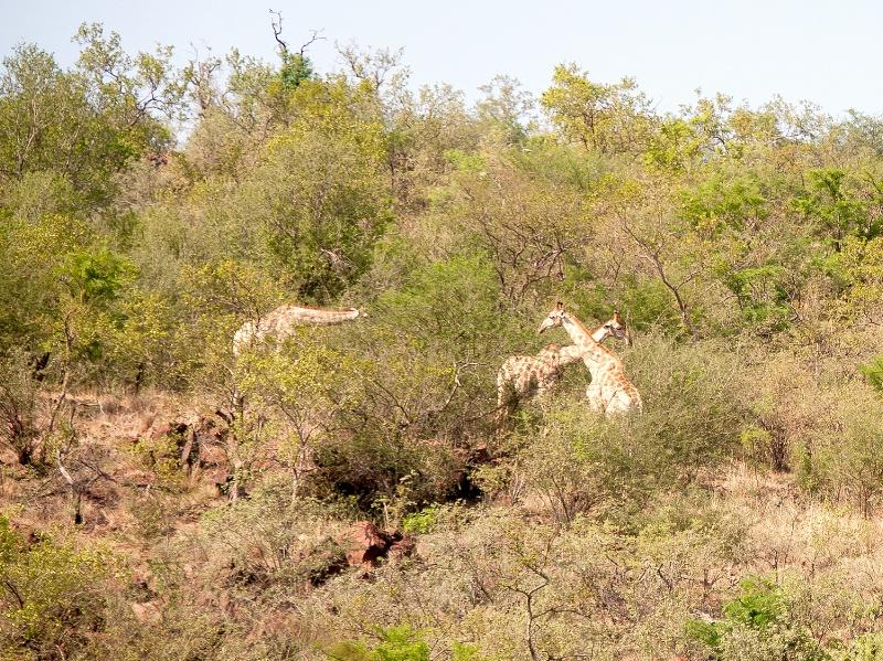 Giraffe, Pilanesberg Reserve