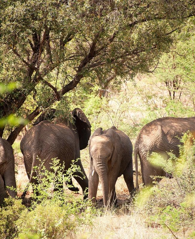 Elephant, Pilanesberg Reserve