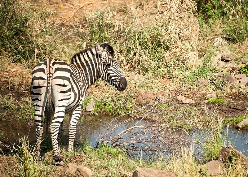 Zebra, Pilanesberg Reserve