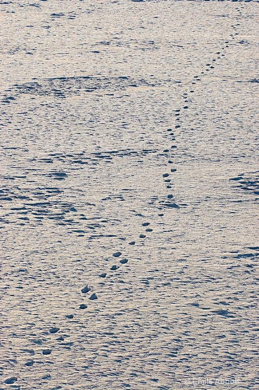 Polar bear tracks