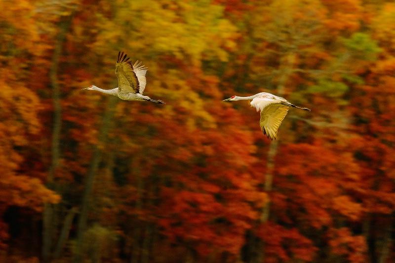 Sandhill Cranes and Autumn Woods