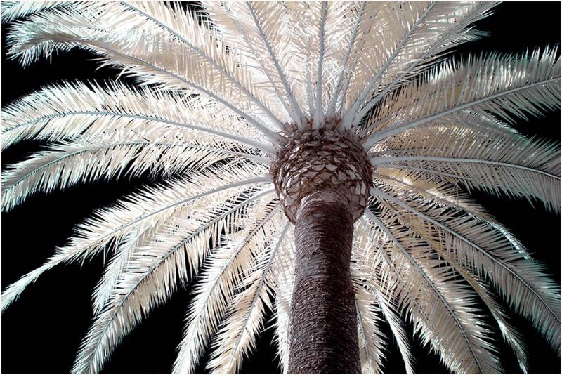 Golden Gate Park Palm Tree