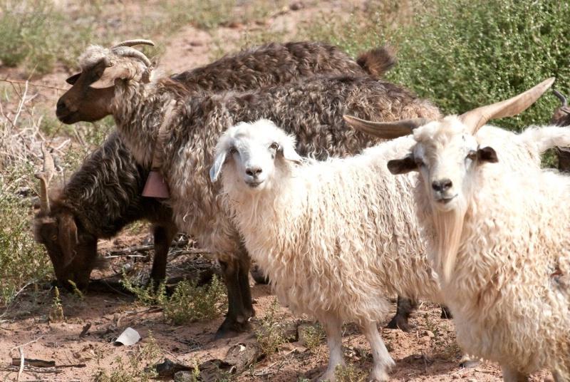 sn cdc goats   sheep-811