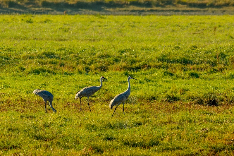Sandhill Cranes In Early Morning Backlight