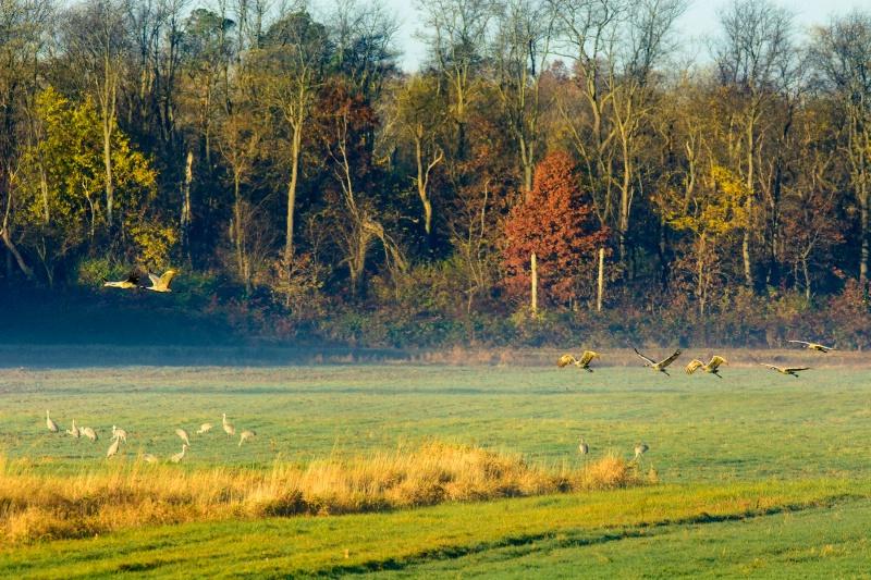 Sandhill Cranes In Morning Light