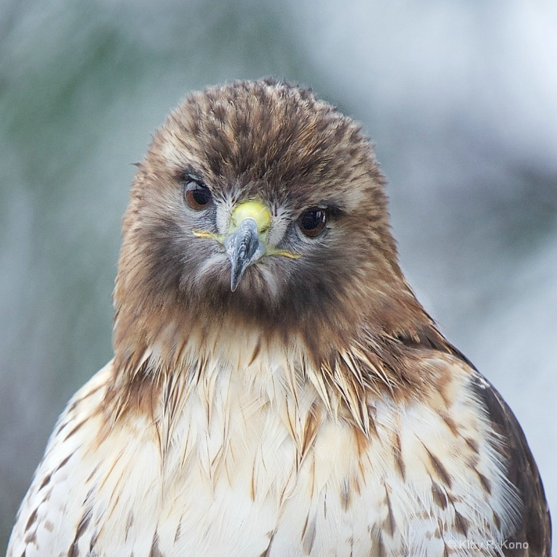 Little Red Tailed Hawk in the Rain Today