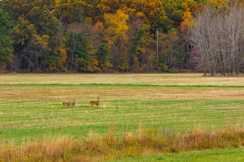 Deer In Field Near Autumn Woods