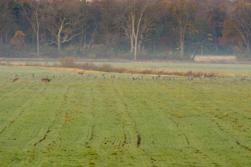 Deer mix with Sandhill Cranes