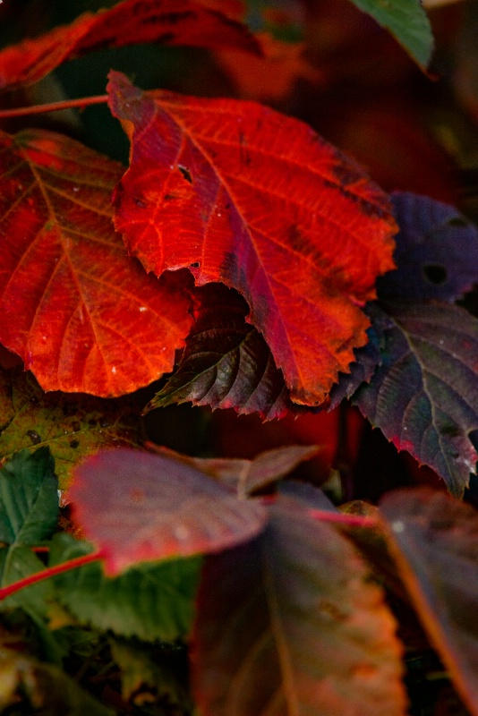Blackberry Leaves In Fall Color