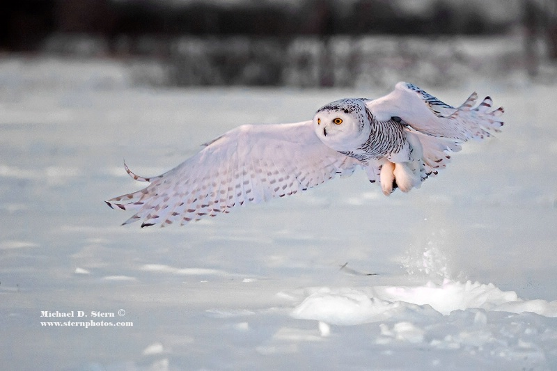 Snowy Owl 4 Wing Out