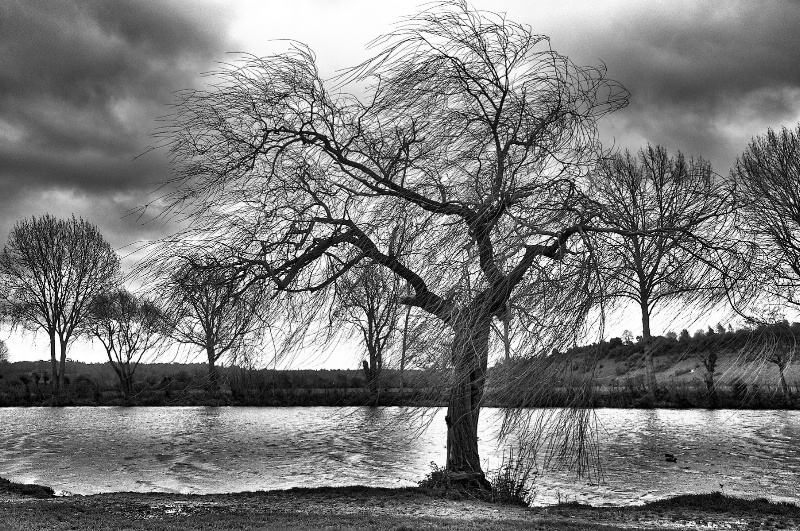 Willow by the Thames  in Black and White