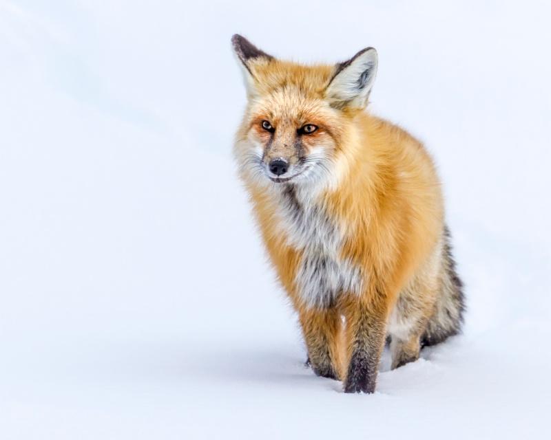 Winter Fox  8226