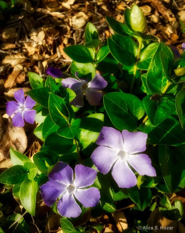 Purple & white vine flowers