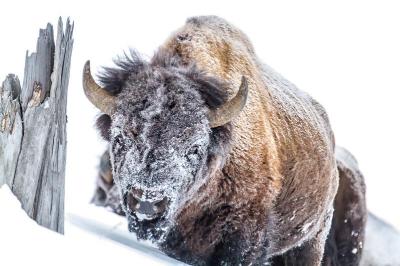 Snow Mask Bison  9176
