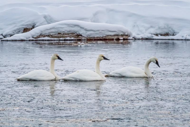 Trumpeter Swan Trio  9966