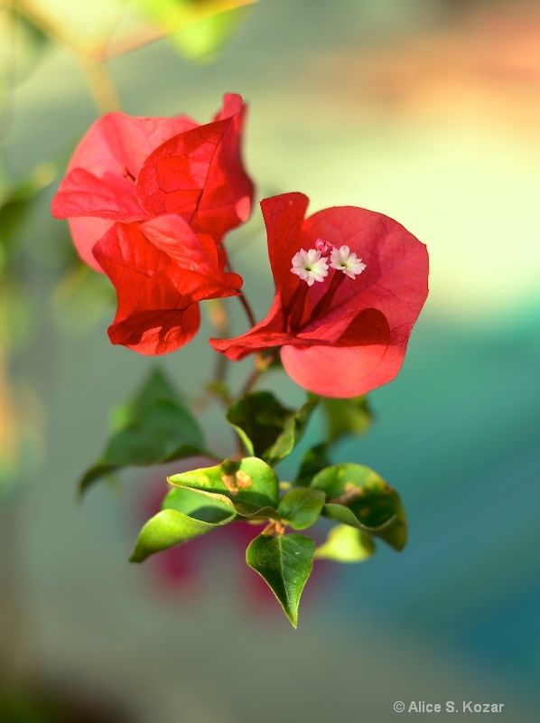 Floating Red Bougainvilla Blossoms