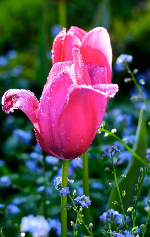 Dew Covered Pink Tulip Morning Light