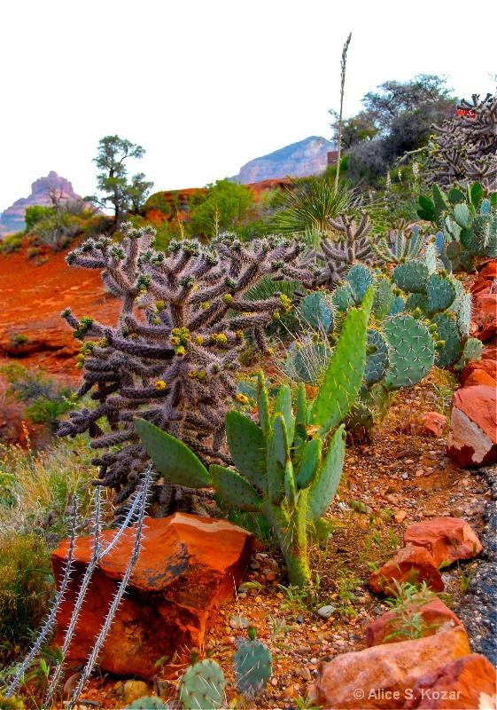 Cacti Growing in Red Rocks Sedona Arizona