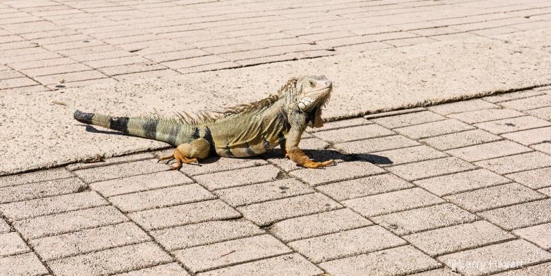 Iguana in San Juan, Puerto Rico