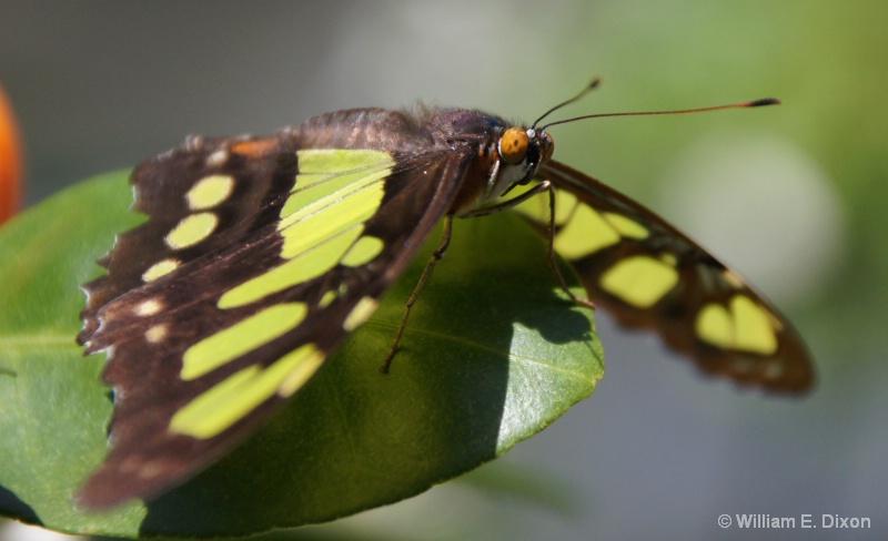 Malachite Butterfly Close-Up