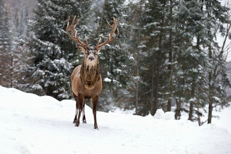 12 Point Elk Buck Looking