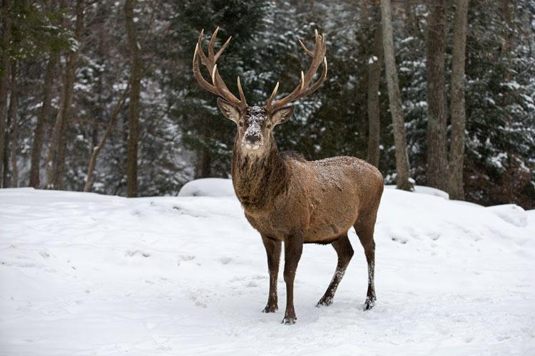 12 Point Elk Buck 2