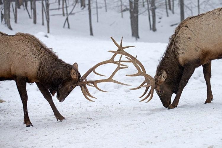 Elk Locking Horns