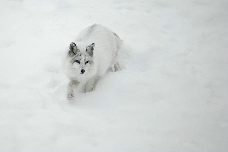 Arctic Fox In a Snow Bank 2