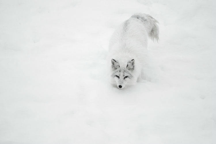 Arctic Fox In a Snow Bank 1