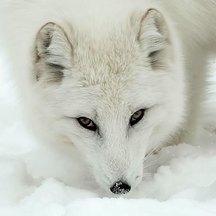 Arctic Fox Face 1