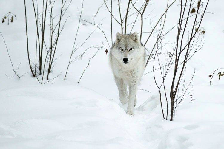 Grey Wolf Coming Towards You
