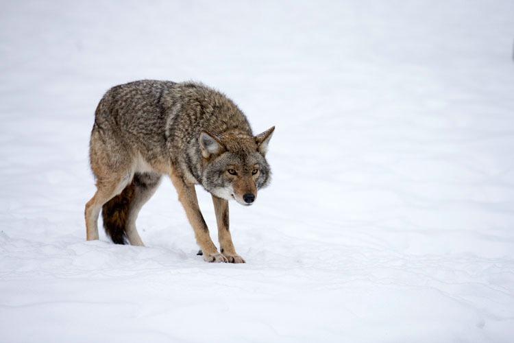 Coyote Stalking