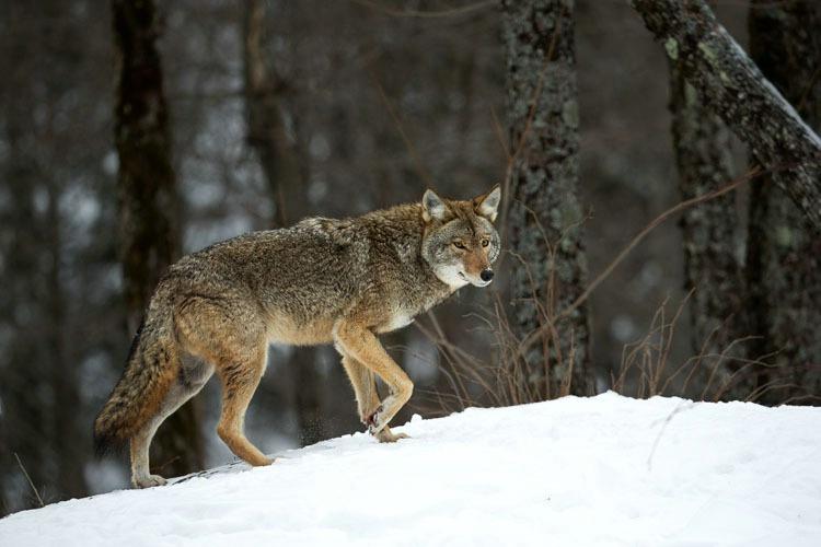 Coyote Walking on a Ridge