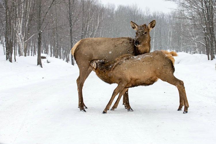 Elk Mom Feeding Baby