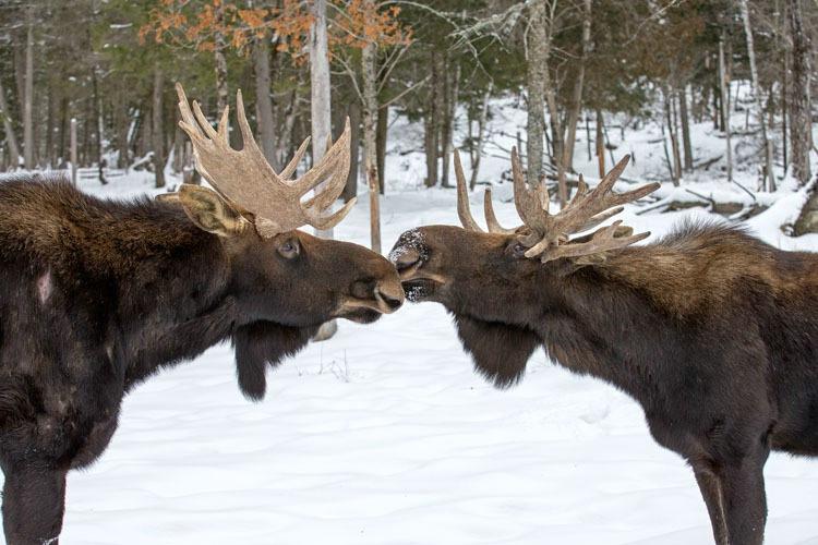 Moose Greeting