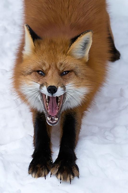 Red Fox Showing Teeth 1