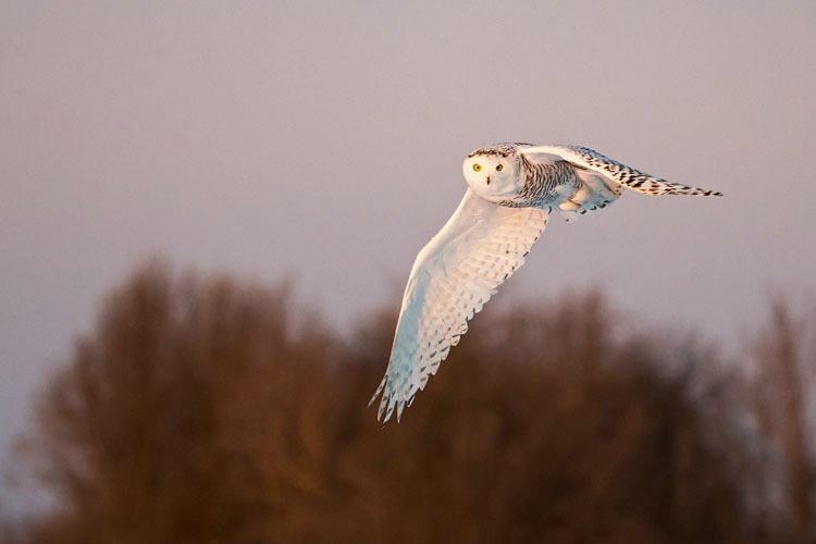 Snowy Owl Flying in 1
