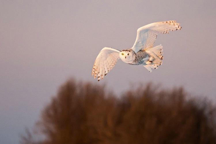 Snowy Owl Flying in 2