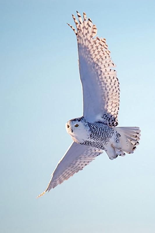 Snowy Owl in Flight Vertical