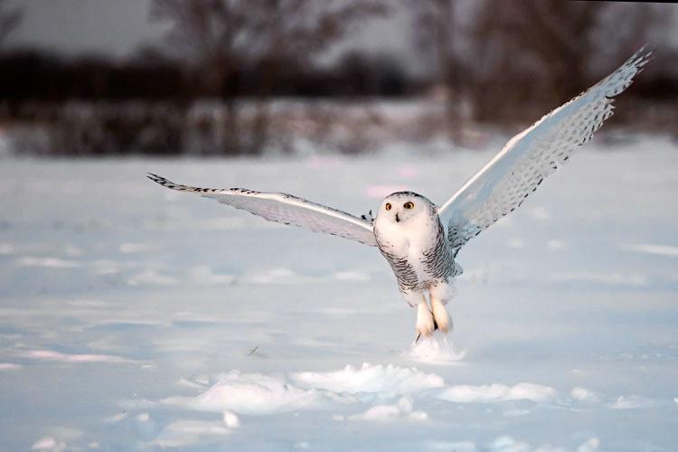 Snowy Owl Pick up 3