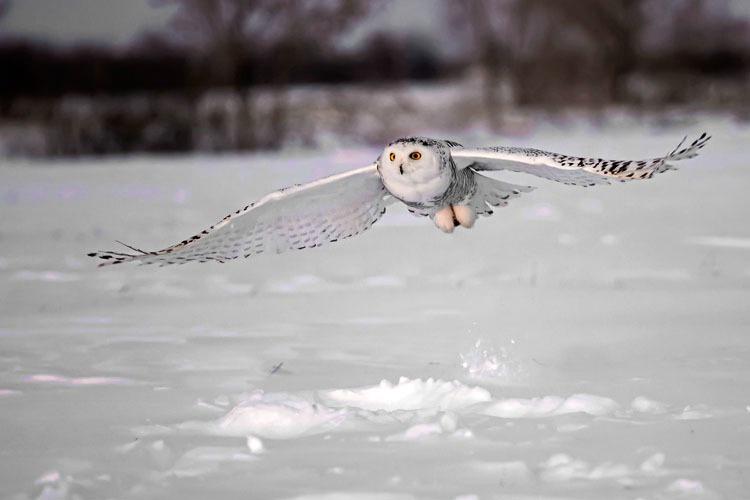Snowy Owl Pick up 2