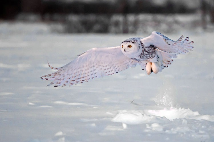 Snowy Owl Pick up 4