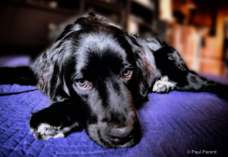 Kevlar, the working Dog