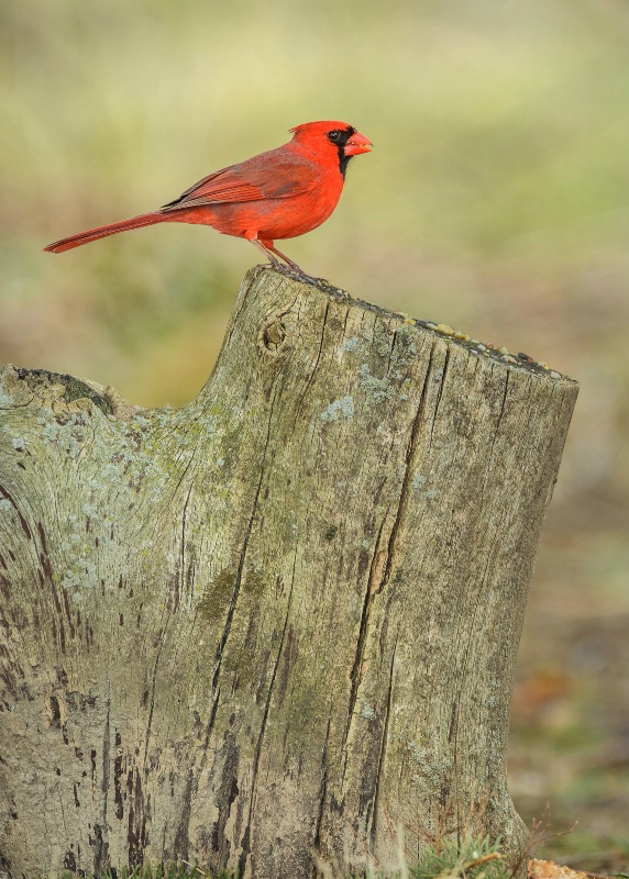 The Little Bird In Red