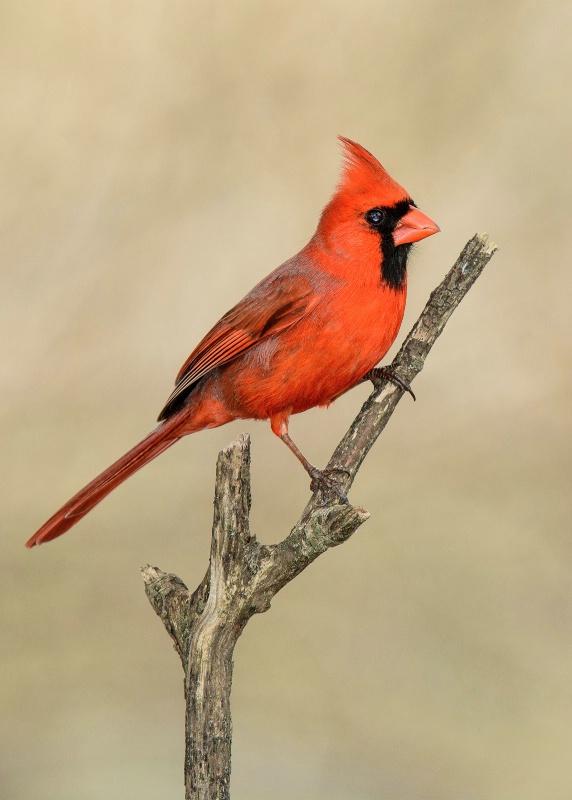 A Cardinal's Perch