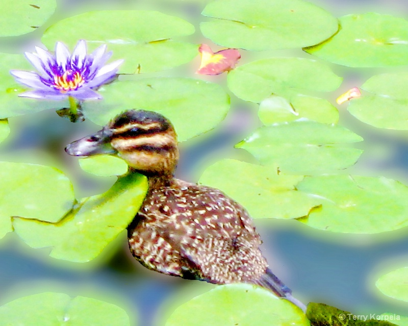 Young Duck in a Lilly Pond
