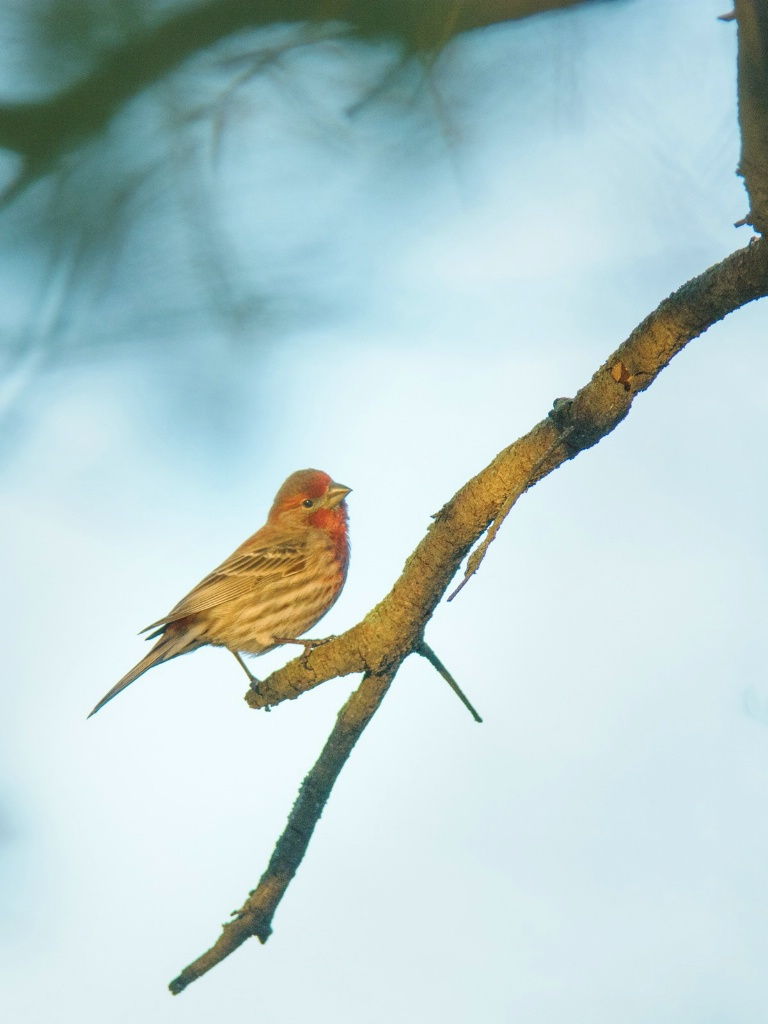 House Finch On A Branch