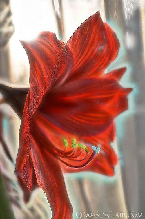 Nellies Amaryllis